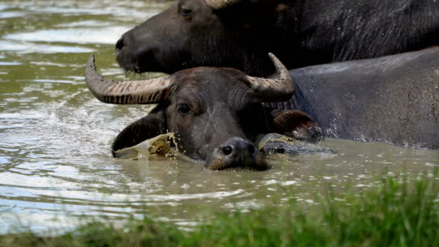 buffalo relaxing in the water - water buffalo stock videos & royalty-free footage