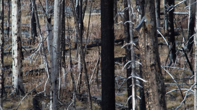 WS PAN Buffalo resting amongst burnt trees in Yellowstone national park / Wyoming, USA.