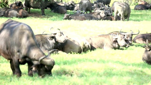 buffalo riposo e al pascolo - pascolare video stock e b–roll
