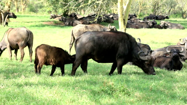 buffalo resting and grazing - american bison stock videos & royalty-free footage