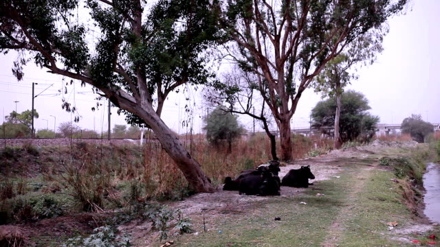 buffalo sitting in nature - herd stock videos & royalty-free footage