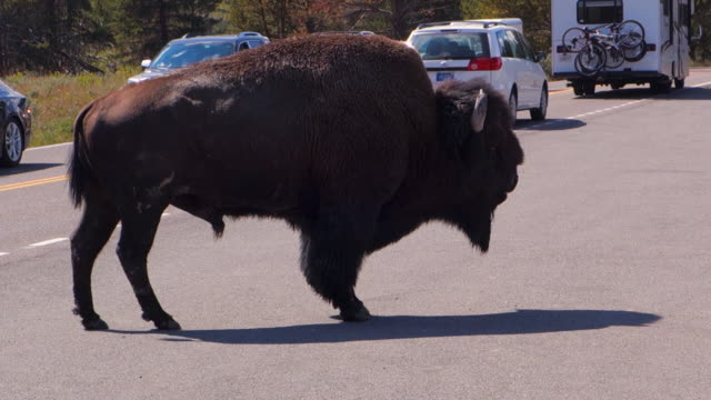 a buffalo slowly walks across and stops in the middle of the road in yellowstone national park, wy - mittlerer teil stock-videos und b-roll-filmmaterial