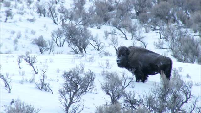 a buffalo stands in a snowy field. - american bison stock videos & royalty-free footage