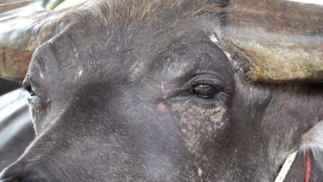vídeos de stock, filmes e b-roll de 4k: buffalo - búfalo africano