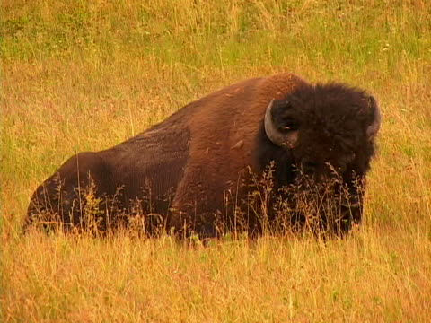 buffalo - herbivorous stock videos & royalty-free footage