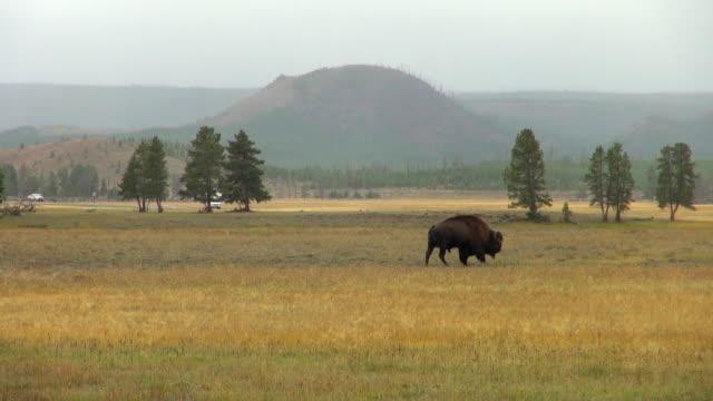 Buffalo Walking Across Yellow Stone Park's Meadow