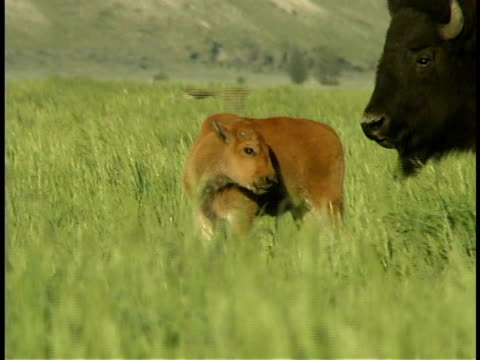 cu, buffalo with calf in grassland, grand teton national park, wyoming, usa - parco nazionale del grand teton video stock e b–roll