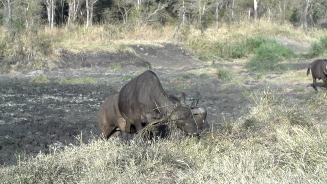 buffalo with grass in his horns shaking head and exiting pan, kruger national park, south africa - mpumalanga province stock videos and b-roll footage