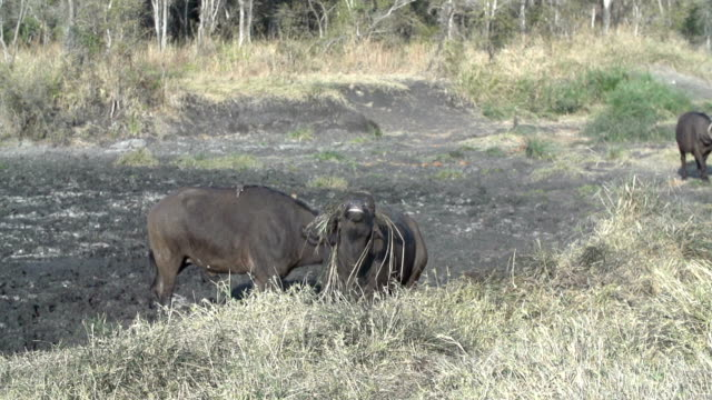 Buffalo with grass in his horns shaking head and exiting pan, Kruger National Park, South Africa