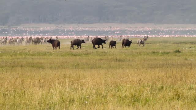 Buffalo Zebras and Flamingos near the lake 1