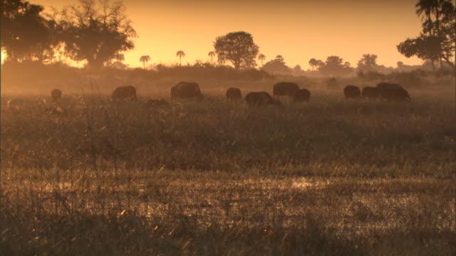 vídeos de stock, filmes e b-roll de buffaloes graze in a marsh swarming with midges. - pântano salgado