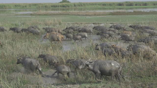 buffaloes in the field.(4k) - water buffalo stock videos & royalty-free footage