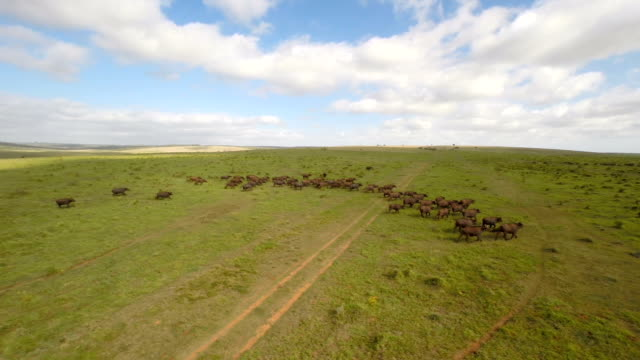 vídeos de stock, filmes e b-roll de búfalos na aberta simples - búfalo africano