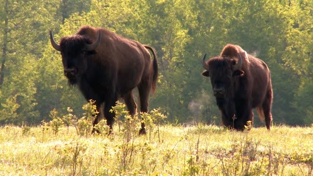 Büffel - Bisons