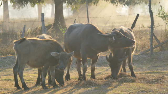 buffalos eating grass in the morning. - pascolare video stock e b–roll