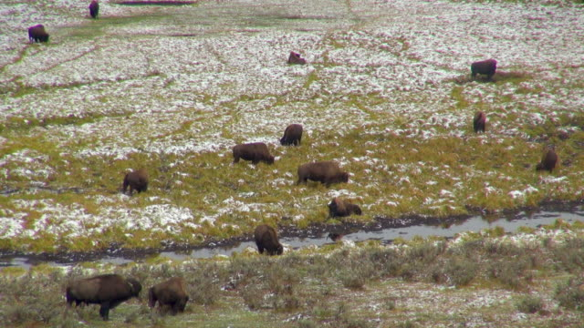 Buffalos Feeding On  Snow Covered Grassland