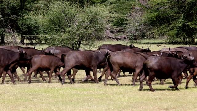 Buffalos - Posing
