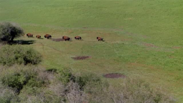 AERIAL, Buffalos running on prairie, Canada