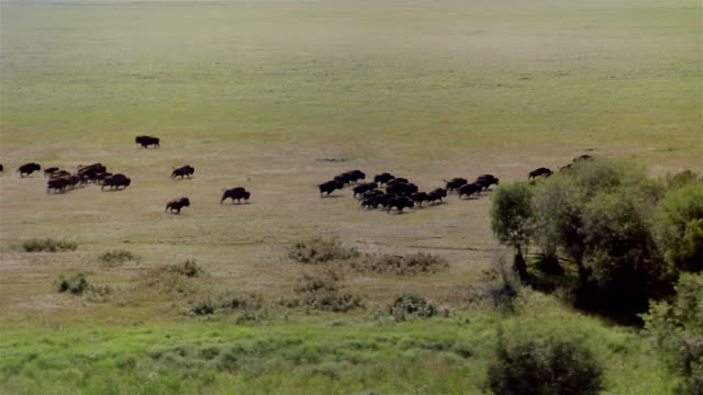 AERIAL, Buffalos running on prairie, Canada
