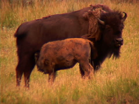 buffalos - herbivorous stock videos & royalty-free footage