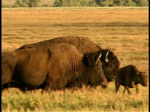 ms, pan, zo, buffalos with calves walking through grassland, grand teton national park, wyoming, usa - piccolo gruppo di animali video stock e b–roll
