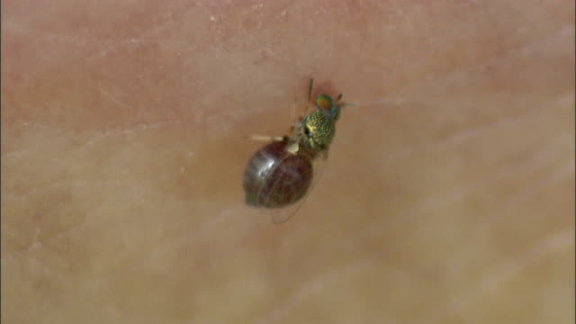 stockvideo's en b-roll-footage met a bug pulls off of skin and leaves a puncture wound behind. - piercen