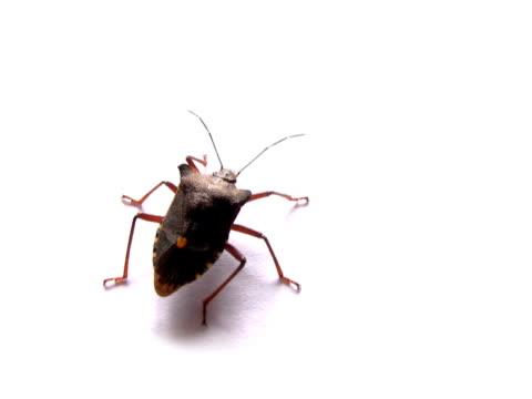 vídeos y material grabado en eventos de stock de ntsc: insecto - escarabajo de cuerno largo