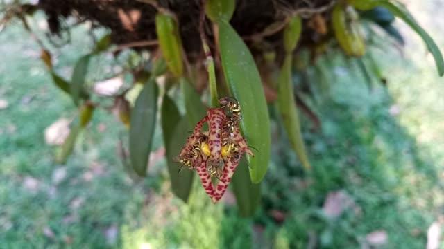 bulbophyllum lasiochilum orchidee im wald - ast pflanzenbestandteil stock-videos und b-roll-filmmaterial