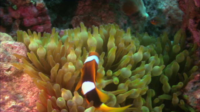 CU, Bulbtentacled Anemone and Clown Anemone fish, Papua New Guinea