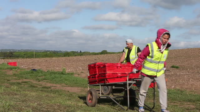 bulgarian and romanian farm workers harvest asparagus at woodhouse farm in hurcott kidderminster uk on tuesday may 05 2020 supermarket supplier g's... - harvesting stock videos & royalty-free footage