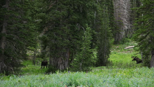 Bull And Cow Moose Graze Among Wild Flowers