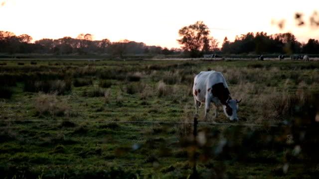bull und es erklingt im sonnenuntergang - kuh stock-videos und b-roll-filmmaterial