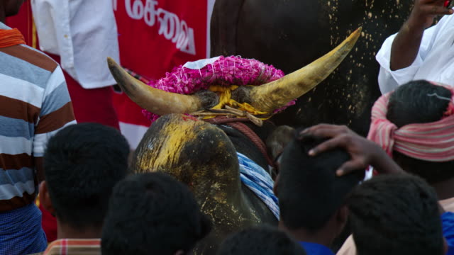 bull and participants during jallikattu at the pongal festival in alanganallur village of tamilnadu, india.jallikattuis the most famous traditional... - human back stock videos & royalty-free footage