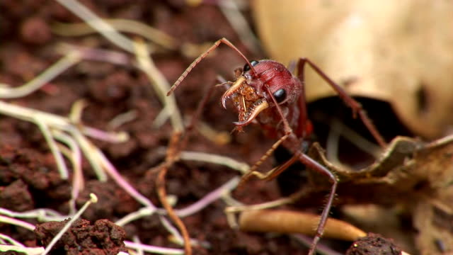 bull ant - one animal stock videos & royalty-free footage