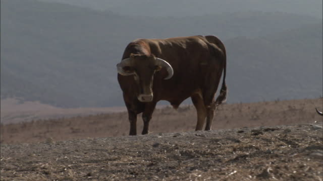 a bull approaches a trough on a ranch near mountains in tarifa, spain. - bull animal stock videos & royalty-free footage