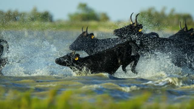 bull black running water camargue animal freedom energy - bulle männliches tier stock-videos und b-roll-filmmaterial