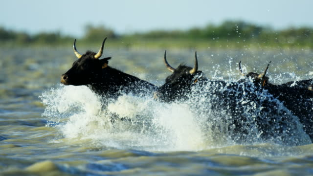 bull black running water camargue animal freedom energy - charging sports stock videos & royalty-free footage