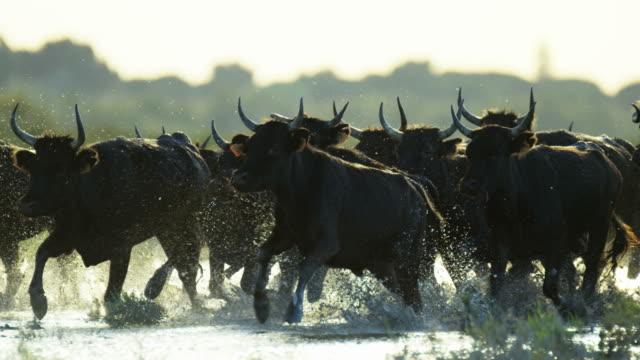 vidéos et rushes de bull black running water camargue animal freedom energy - taureau
