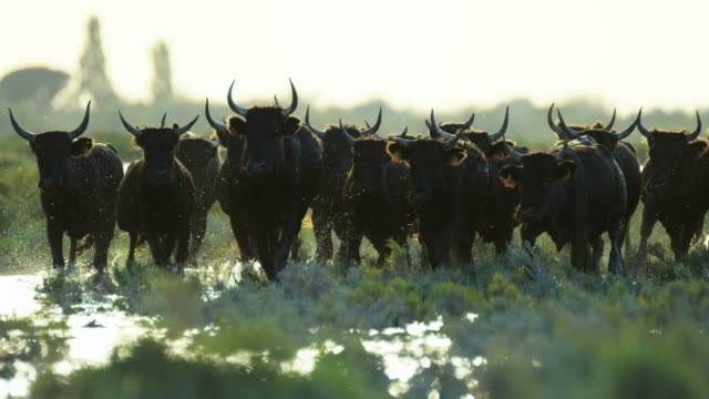 bull black running water camargue animal freedom energy - 雄牛点の映像素材/bロール
