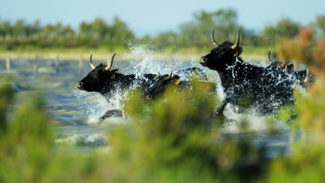 bull black running water camargue animal freedom power - bulle männliches tier stock-videos und b-roll-filmmaterial