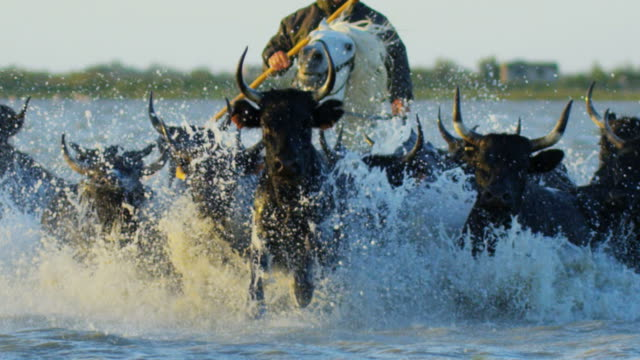 bull black running water camargue cowboy freedom power - charging sports stock videos & royalty-free footage