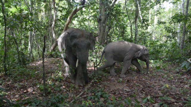Bull Bornean Pygmy Elephant coming to camera with family
