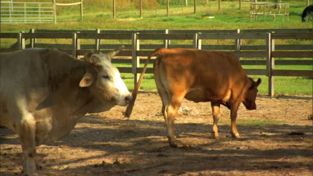 ms bull cow standing around in livestock pen bull fg chewing grazing cow bg defecating farmland country countryside domesticated livestock animal - defecating stock videos and b-roll footage