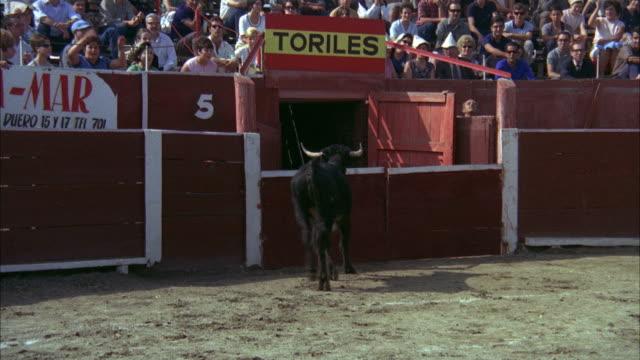 1967 ws pan bull crashing through safety wall at bullfighting ring - anno 1967 video stock e b–roll