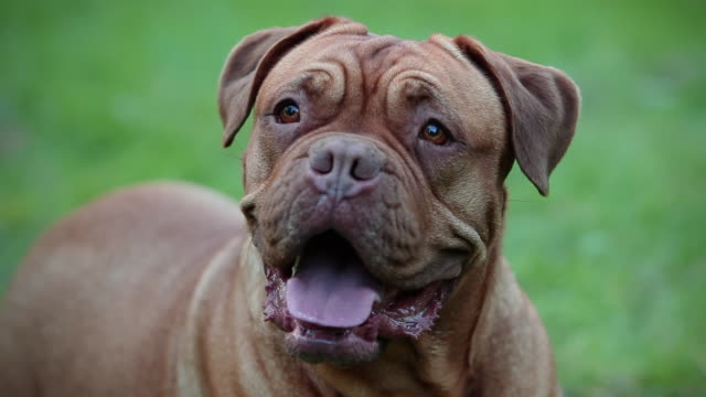A Bull Dog de Bordeaux.