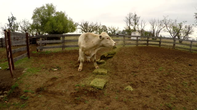 Bull eating hay in cattle corral
