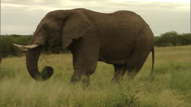 A bull elephant grazes on the savanna.