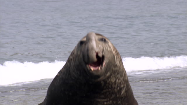 ms ts bull elephant seal charging and roaring audio / gold harbour, south georgia, antarctica - 攻撃的点の映像素材/bロール