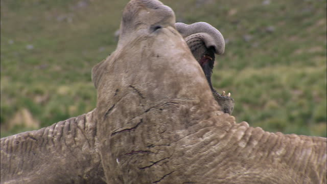 cu bull elephant seals fighting audio  / gold harbour, south georgia, antarctica - 攻撃的点の映像素材/bロール
