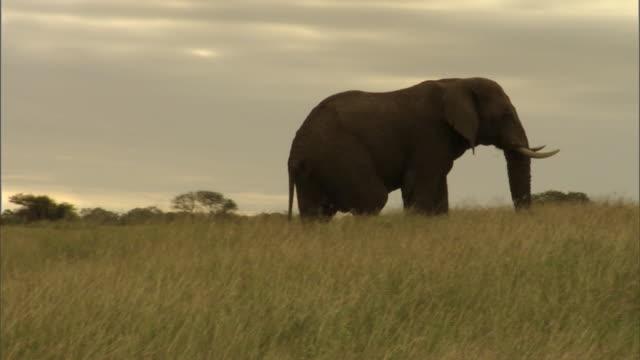 A bull elephant walks along a grassy ridge.